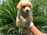 3 Aylık Erkek Maltipoo Terrier Bebeğim Leon