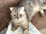 Scotish Fold ve Britişh Shortair Yetişkin Kedilerim