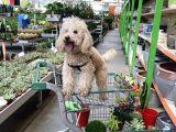 1 Buçuk Yaşındaki Toy Poddle Köpeğime Yeni Yuva Arıyorum