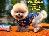 Basık Burun Ayı Surat Yarışma Adayı Safkan Boo Pomeranian