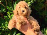 2 Aylık Erkek ve Dişi Toy Poodle Yavrularımız