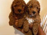 Anne Altından Toy Poodle Kardeşler