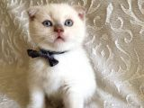 3 Aylık Saf Scottish White Teddy Erkek Bebek