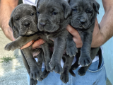 3 Haziran Doğumlu Dev Cane Corso Blue Dişi Yavrularımız