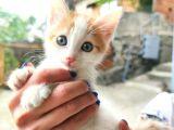 Calico - Sarman Kedi Yavruları