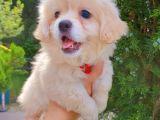 Gülen Suratlı Terrier