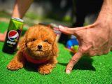 Red Brown 3 Aylık Toy Poodle Yavrularımız
