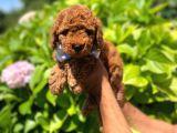 Yavru Toy Poodle