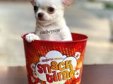 Elma Kafa Dişi Chihuahua Yavrularımız