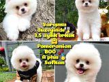 Küt Burun Kare Surat Yarışma Adayı Safkan Boo Pomeranian