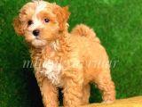 Maltipoo Adi Altinda Renkli Terrier Almayin