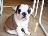 İngiliz Bulldog Yavrularım
