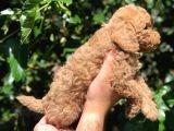 Red Toy Poodle  Dişi Erkek Mevcut Scrli Var Scrsiz Var