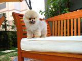 En Küçük Ebatlarda Teacup Boy Pomeranian Oğlumuz