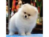 Pomeranian Boo Yavruları İzmir'de