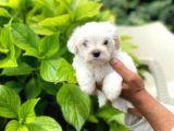 Yavru Maltese Terrier