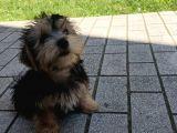 14 Nisan Doğumlu Erkek Yorkshire Terrier Veteriner Kontrollü