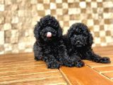 Toy Poodle Yavrular ( Red Brown,Red,Silver,Apricot,Siyah)