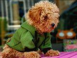 Erkek Red Toy Poodle