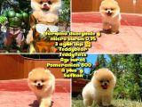 Yarışma Duzeyinde Micro 0,75  Burun 3 Aylik Dişi Teddybear Teddyface Ayı Surat Pomeranian Boo  a Plus  Safkan