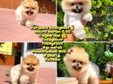 Yarışma Duzeyinde Micro 0,60 Burun  3 Aylik Dişi  Teddybear Teddyface Ayı Surat Pomeranian Boo  a Plus  Safkan
