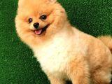 10 aylık Pomeranian