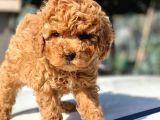Toy Poodle Yavrular  ( Red,red Brown,apricot,silver,siyah)