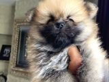 Pomeranian Yavru Ev Üretimi Dişi