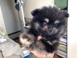 Ev Üretimi Pomeranian Dişiler