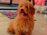 Erkek Güzeli  Red Toy Poodle