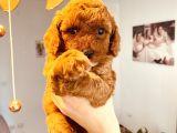Mathilda Doğum Yaptı Safkan Poodle Yavrular Yuva Arıyor