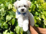 Anne AltIndan Maltese Terrier