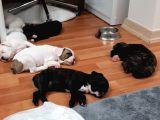 French Bulldog Yavrularımız