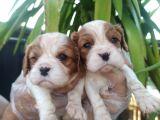 Cavalier King Chales Yavruları
