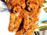 Muhteşem Toy Poodle Yavrularimiz Si̇zlerle