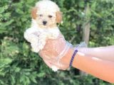 Teacup Toy Poodle Yavrumuz