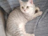 Ev Kedimin Güzel Yavrusu - Silver Shaded British Shorthair