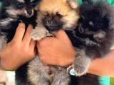 Pomeranian Boo Disi Yavru