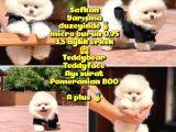 Basık Küt Kare Micro 0,60 Burun 3 Aylik Teddybear Teddyface Ayı Surat Pomeranian Boo a Plus Safkan