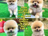 Basık Küt Kare Micro 0,70 Burun 3 Aylik Teddybear Teddyface Ayı Surat Pomeranian Boo Safkan