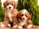 Bi Color Toy Poodle