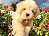 Apri̇kot Toy Poodle Yavrularimiz