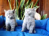 British Shorthair Yavruları