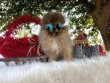 Pomeranian Çiftliğinden Safkan Pomeranianlar