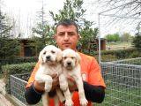 Satılık Labrador Yavru Köpek
