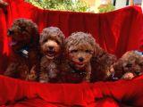 Toy Poodle Safkan Belgeli Yavrularımız