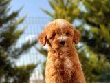 Red Di̇şi̇ Toy Poodle Bebeği̇mi̇z