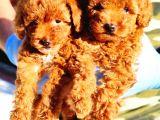 Di̇şi̇ Red Toy Poodle Yavrularimiz