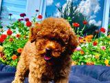 Dark Red Toy Poodle Yavrularimiz Si̇zlerle