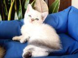 Mükemmel Bir Kedi British Shorthair Inceleyin